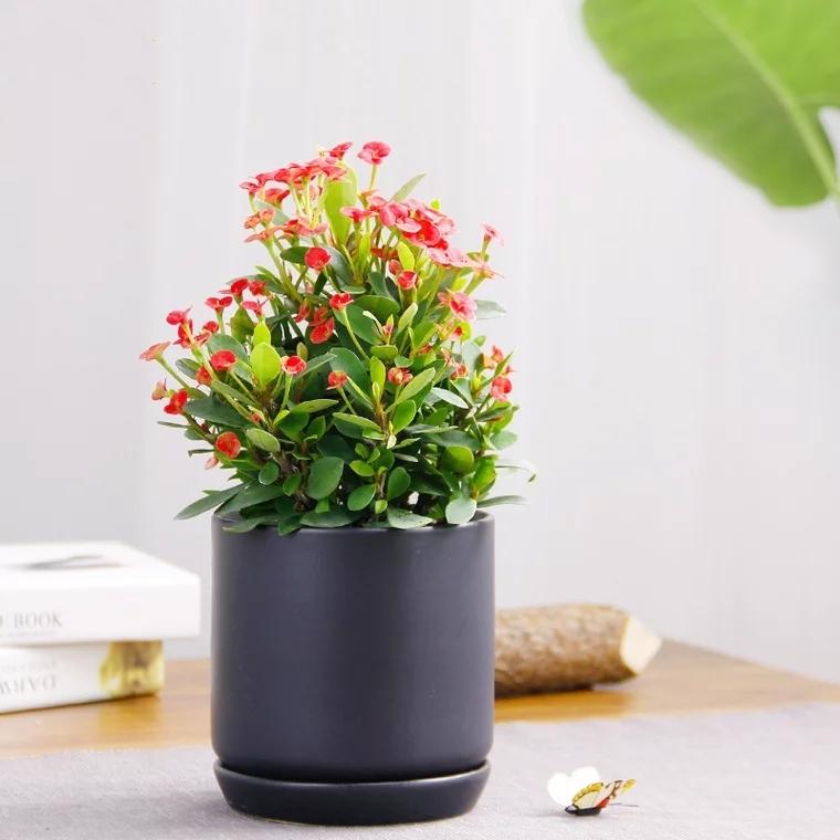 虎刺梅 盆栽