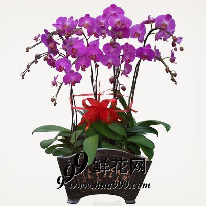 蝴蝶兰15037