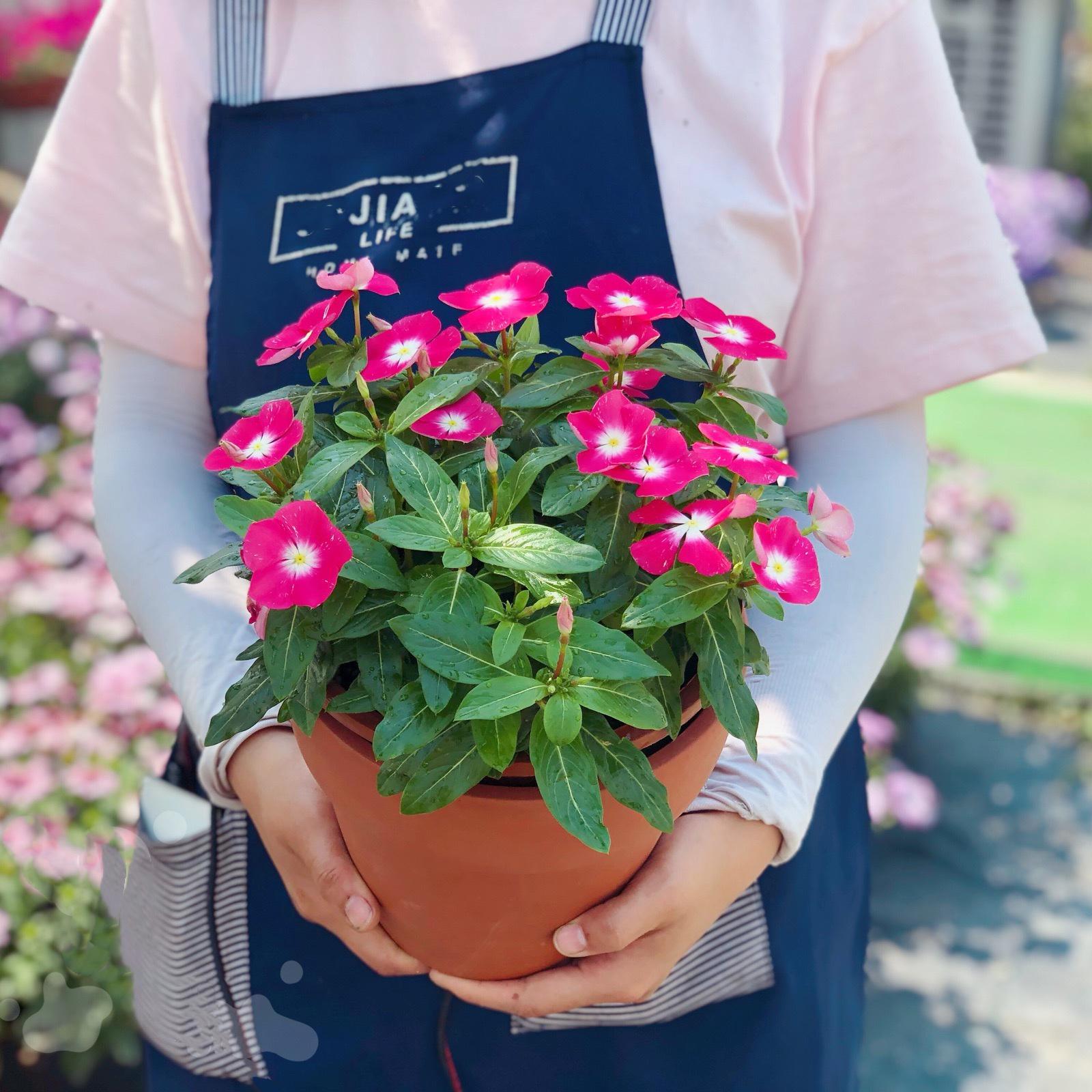 紫荆花 长春花 五瓣梅