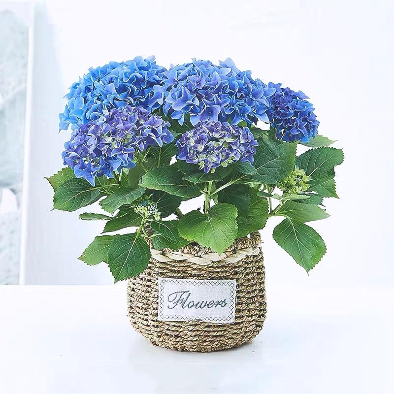 绣球花盆栽(小) 蓝色 粉色