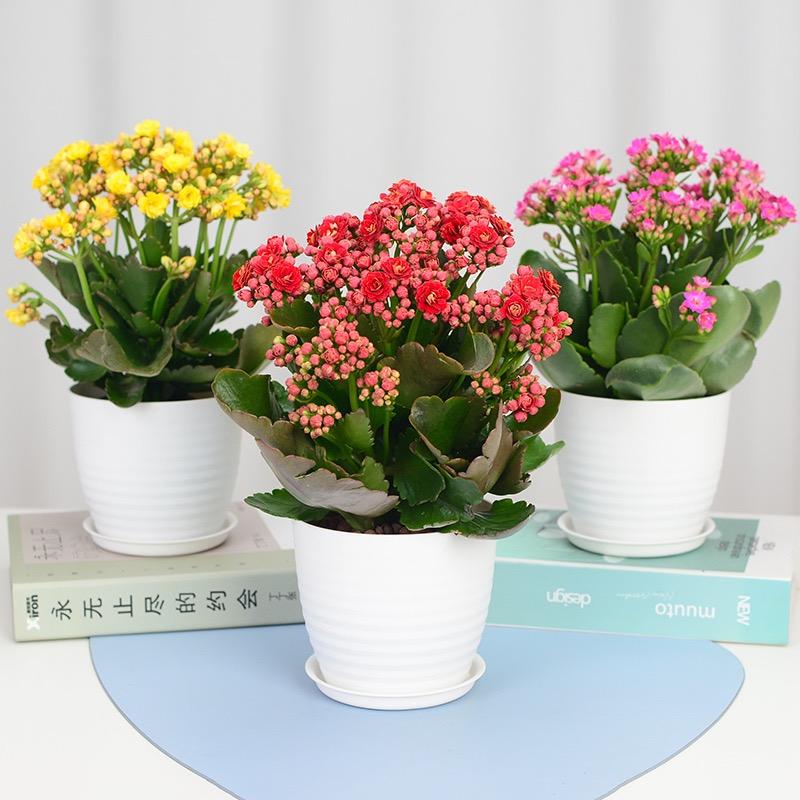 长寿花盆栽3015A